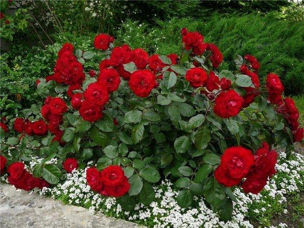 Кустовая красная роза в цветнике