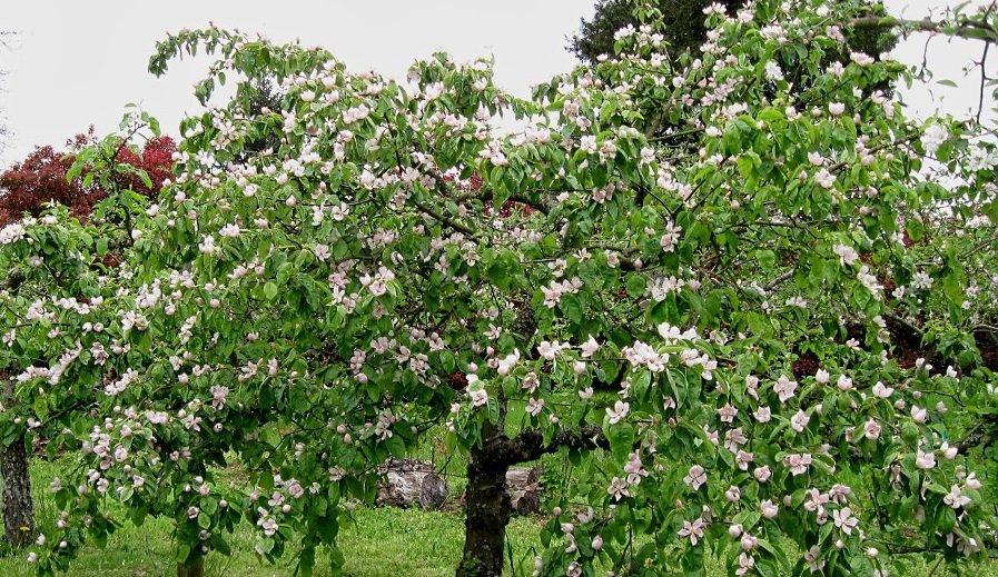 Весеннее цветение фруктового дерева
