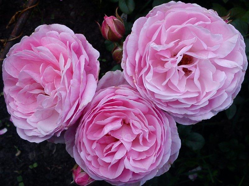 Цветки розы Флешлайт