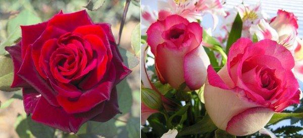Розовая и красная голландские розы