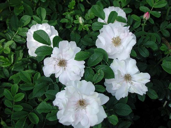 Цветки Henry Hudson