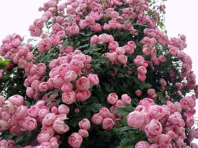 Констанст Спрай розы английские