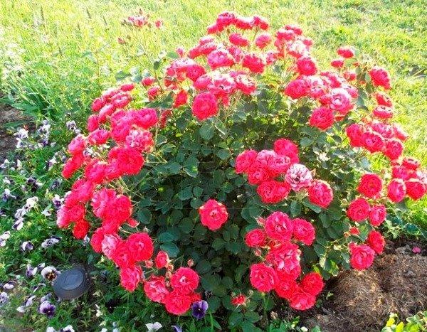Куст роз в саду