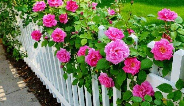 Розы плетистые малиновые на заборе