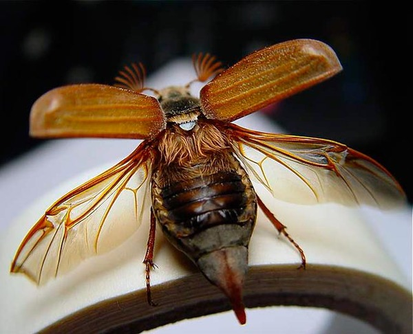 Майский жук с распущенными крыльями