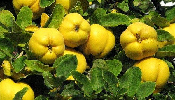 Плоды айвы на ветке дерева
