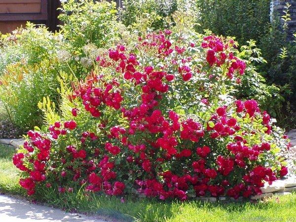 Куст красных роз Rosarium Uetersen