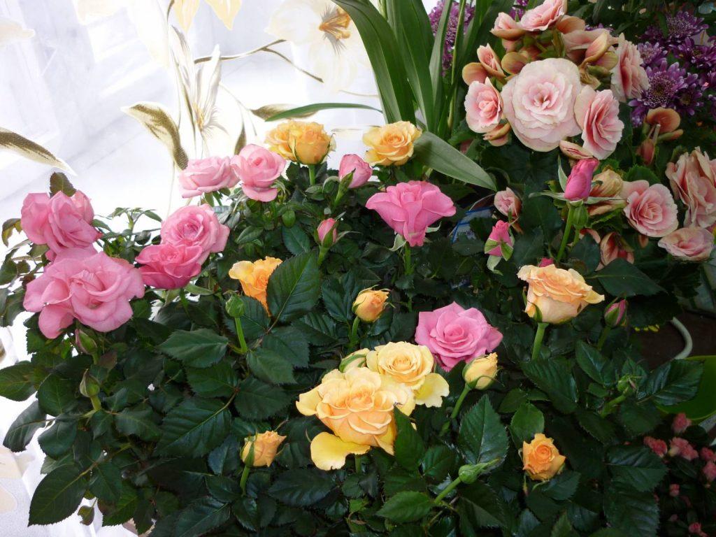 Карликовые розовые кусты