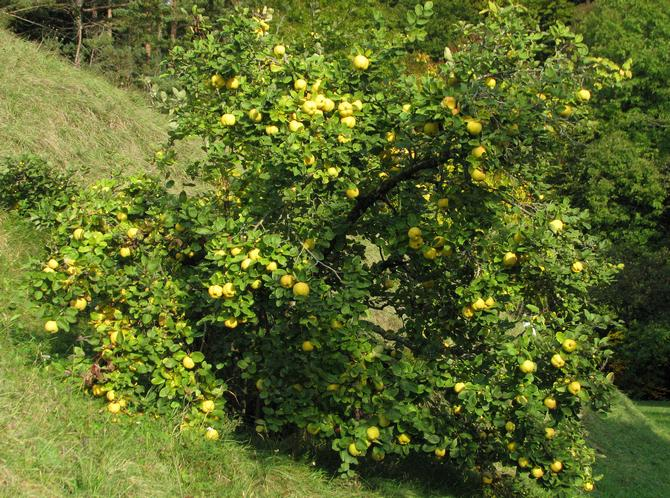 Айва - фруктовое дерево