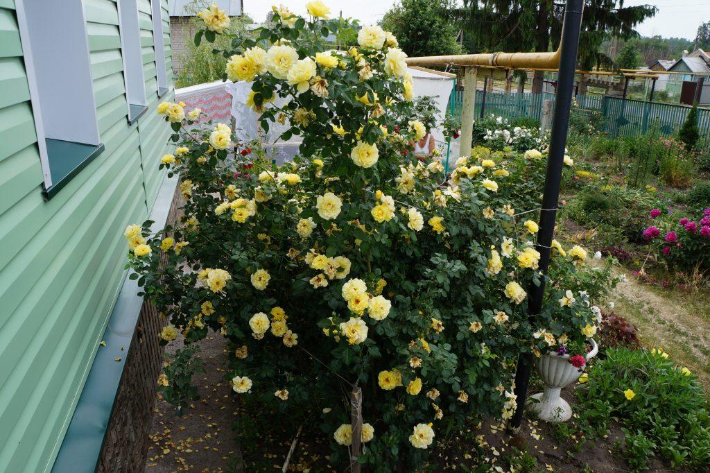 Кустовая желтая роза на даче
