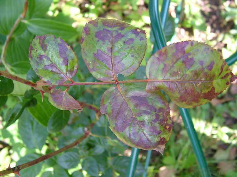 Грибковые заболевания кустов розы