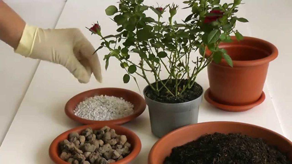 Пересадка розы с добавлением удобрений