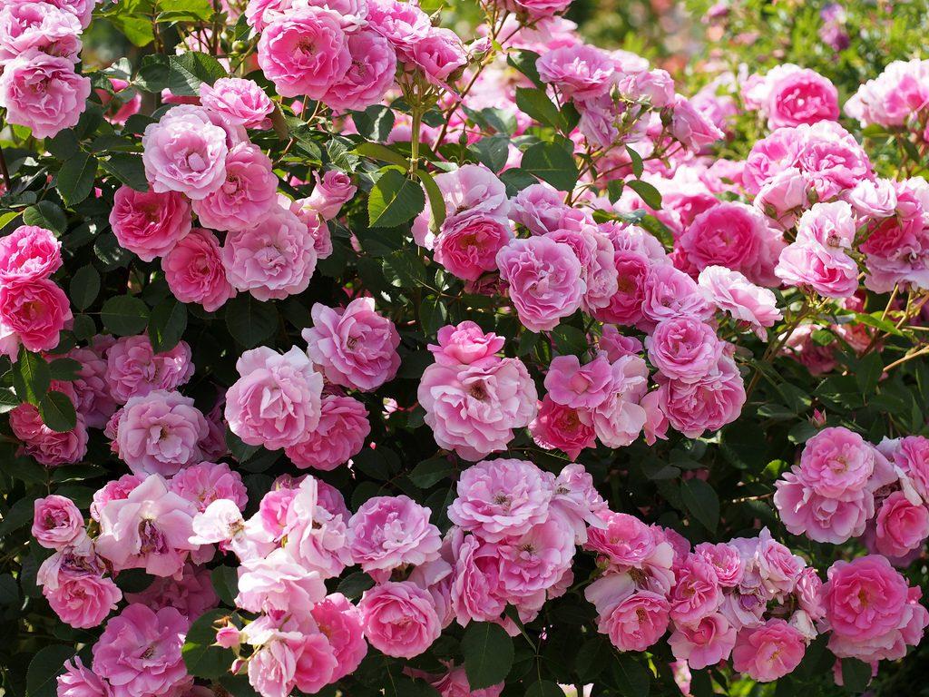 Кустовые розы-шрабы