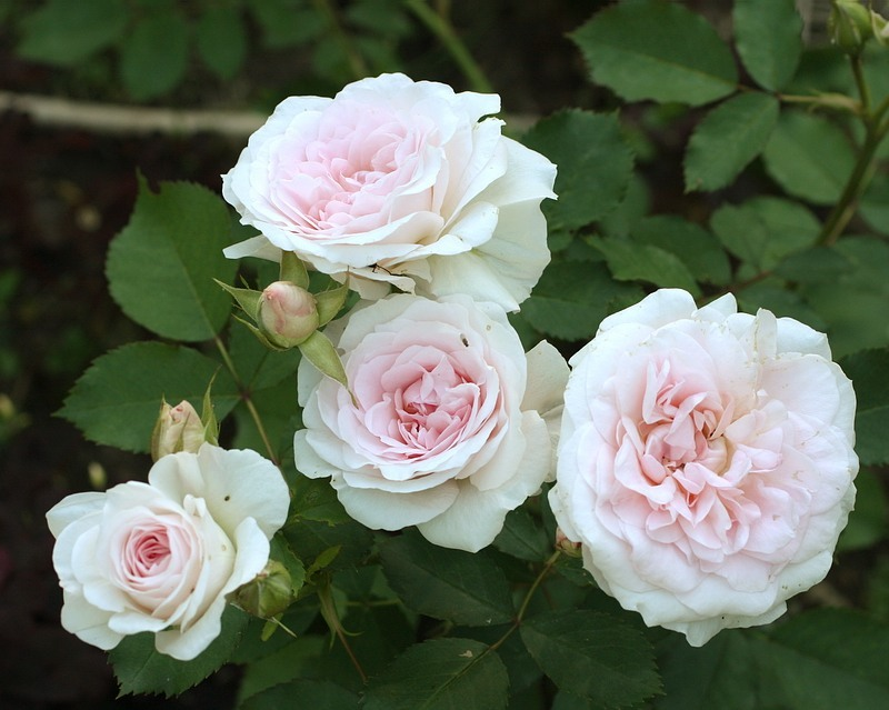 Куст бело-розовых роз