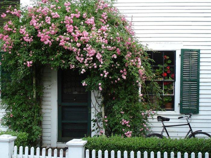 Декоративная роза плетистая вокруг крыльца