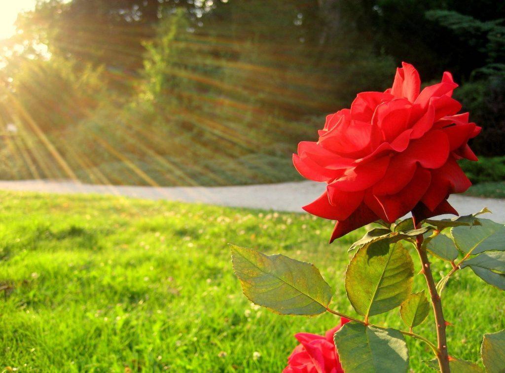 Роза на солнечном месте