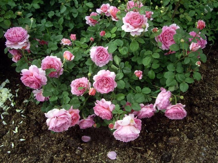 Английская роза Принцесса Александра оф Кент
