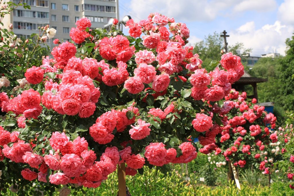 Плетистая роза Розариум Ютерсен