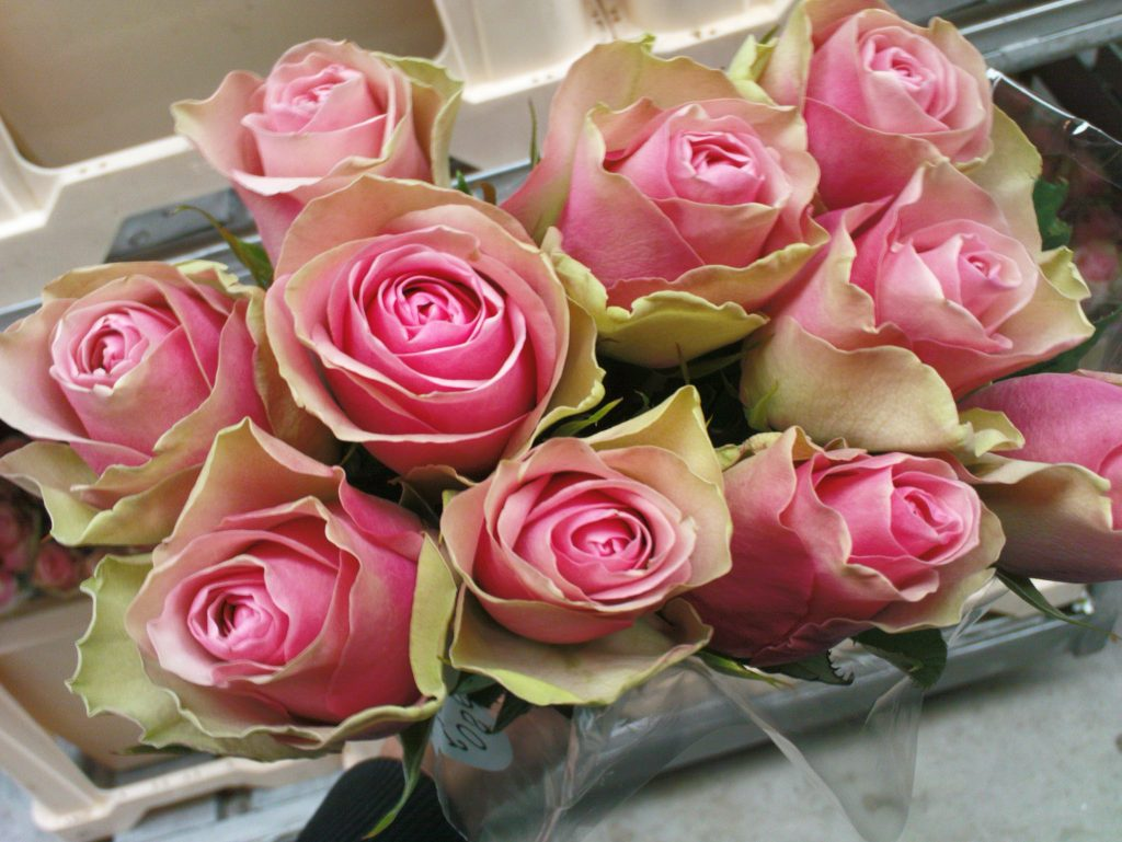 Розовый куст Белла Роза