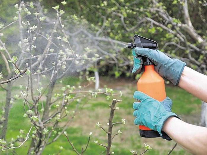 Опрыскивание мочевиной фруктового дерева