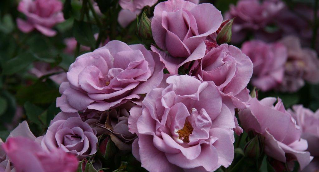 сине фиолетовые розы