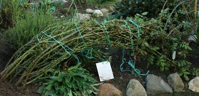 Связанные и пригнутые стебли плетистых роз