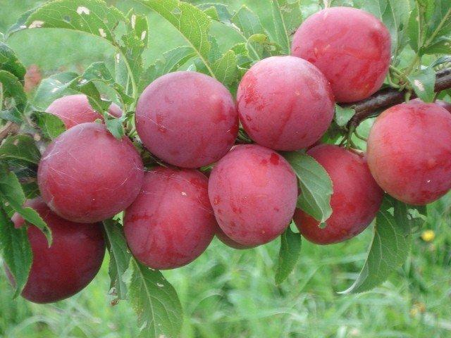 Плоды крупные, насыщенного цвета