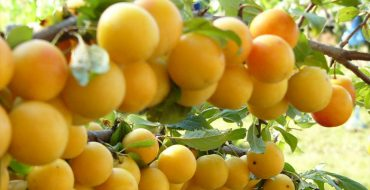 Ветка спелых плодов алычи