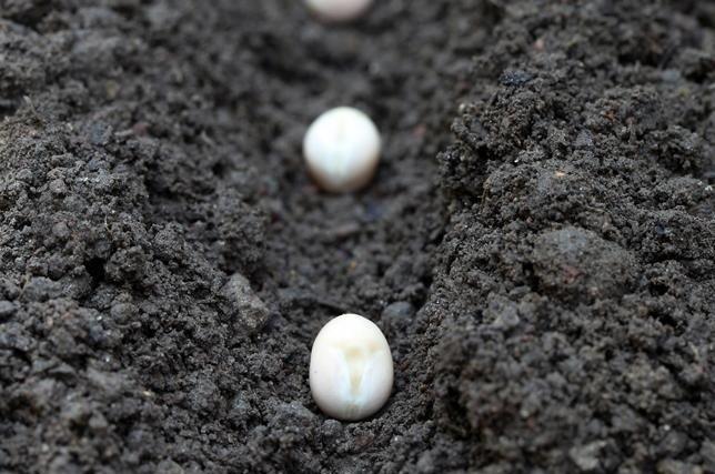 Посадка фасоли в почву