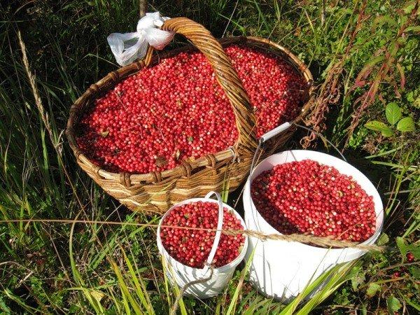 Собранные ягоды брусники