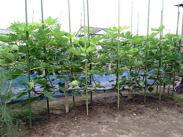 Формирование дерева в открытом грунте
