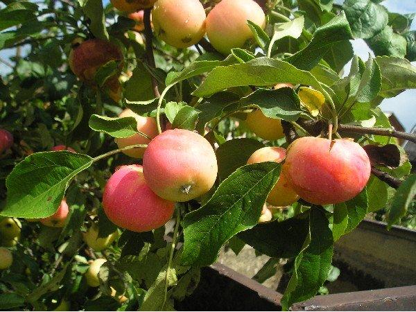 Яблоня сорт Заветное