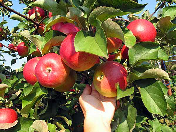 Яблоня сорт Подарок Графскому