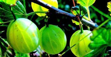 Зрелые плоды крыжовника на ветке