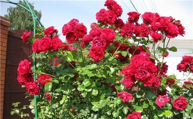 "Плетистая роза ""Сантана"""