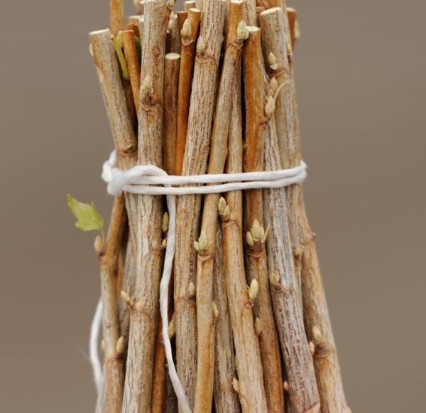Отводки дерева для размножения и посадки