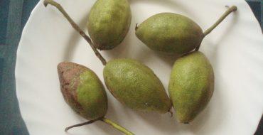 Зеленые плоды маньчжурского ореха