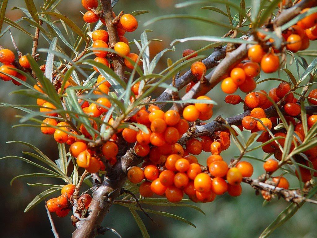 Спелые плоды облепихи на ветке