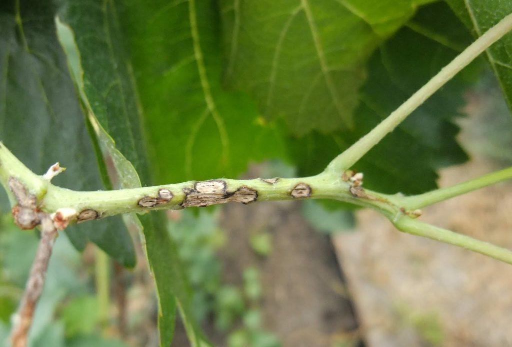 Оливковая пятнистость на листьях дыни