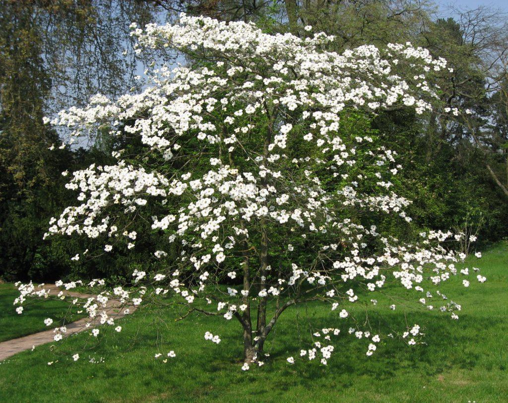 Цветущее дерево кизил