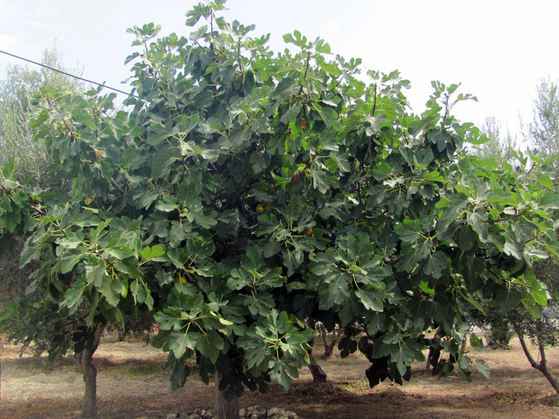 Большое дерево инжир