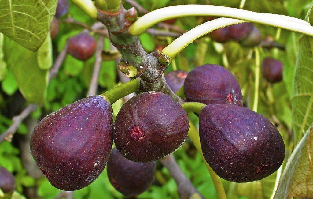 Сорт инжира Абхазский Фиолетовый