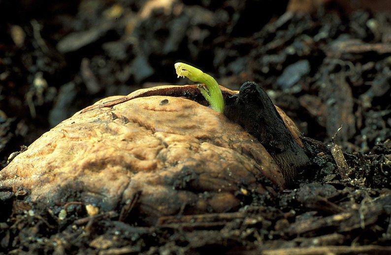 Посадка грецкого ореха в почву