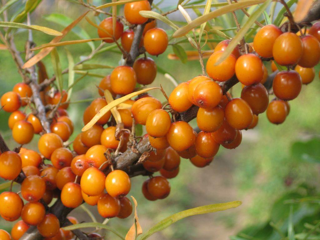 Плоды облепихи на ветке