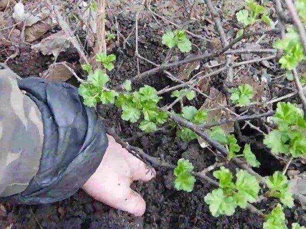 Окучивание крыжовника в саду