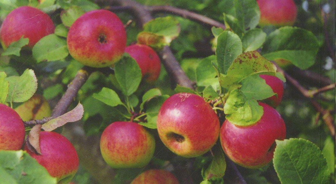 Яблоня башкирский красавец фото описание