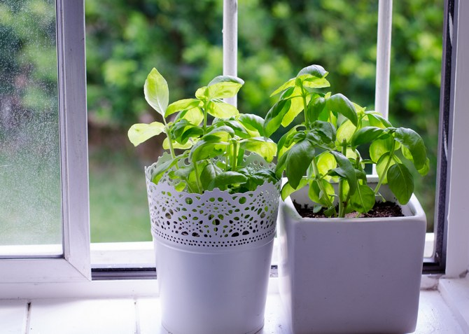 Базилик, растущий дома на окне