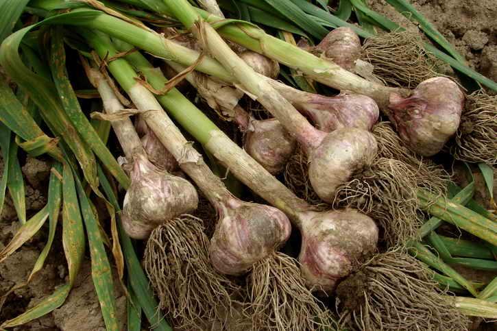 Сбор урожая ярового чеснока