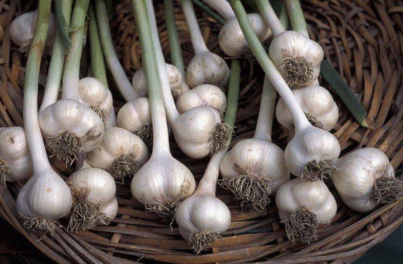 Сбор урожая озимого чеснока