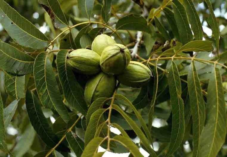 Орехи пекан на ветке